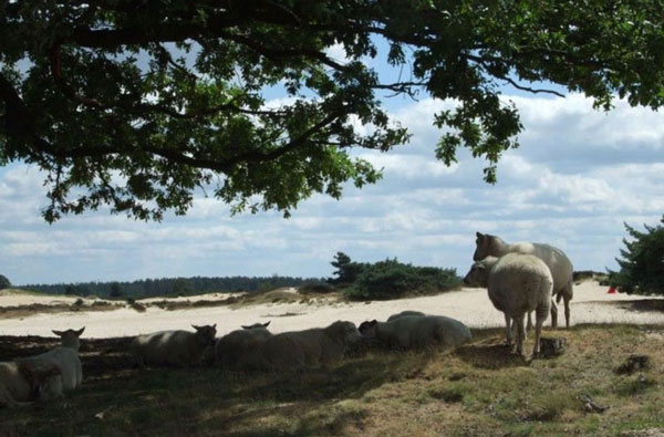 Schapen in het Drents-Friese Wold